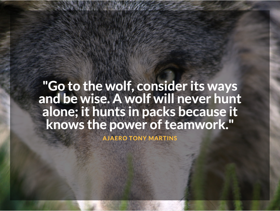 wolf-hunts-packs-image
